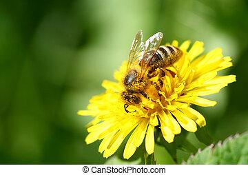 bee - macro bee on yellow dandelion flower