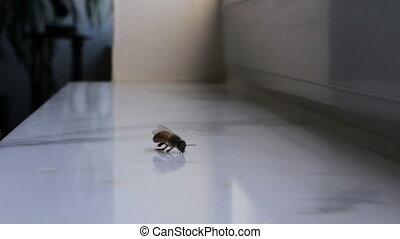 Bee Struggling for Life on a Window - One bee looking like...