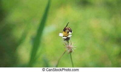 Bee sucking nectar from daisy flower on blurred nature background