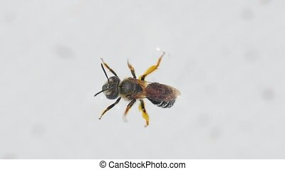 Bee suffering and being weak - Bee fallen into a swimming ...