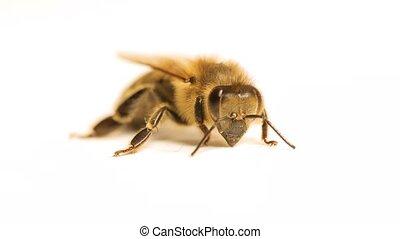 Bee suffering and being weak - Bee macro being weak and ...