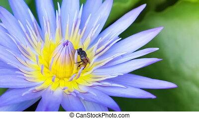 Bee Swarm blue Lotus Flower