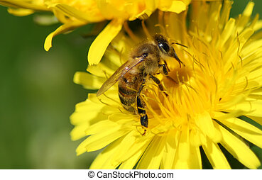 Bee - This image shows a macro from a working bee