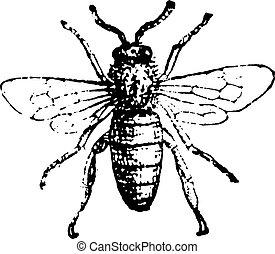 Bee, vintage engraving. - Bee, vintage engraved...