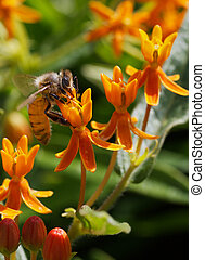 Bee working a Butterfly weed