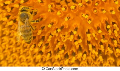 Bee working and gathering pollen from sunflower in field close up. Field of sunflowers. Sunflower swaying in wind