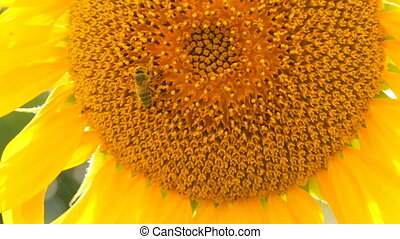Bee working and gathering pollen from sunflower in field....