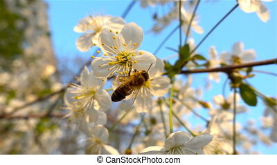 Bee working on flower in slow motion, blue sky and sunny...