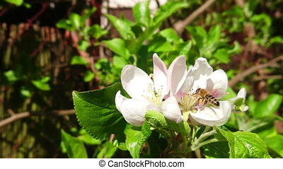 Bee working on apple flowers slow motion footage. Spring pollination by wild bee. Insect in natural environment.