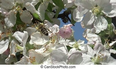 Bee working on the apple tree blossom flower in springtime
