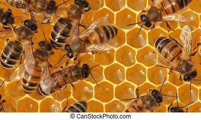 BeeBees on honeycombs with nectar and honey - Bees build...
