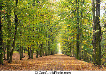 Beech avenue without people in the autumn season
