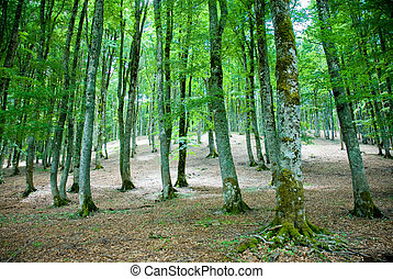 Beech forest - A view of a beech forest in autumn colours