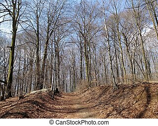 Beech forest in Europe