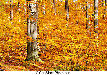 beech forest in fall 30