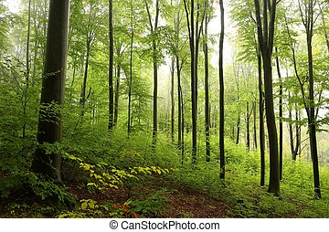 Beech forest in misty weather