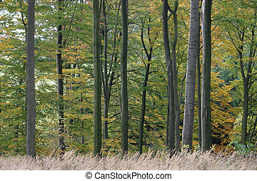 Beech forest in the autumn