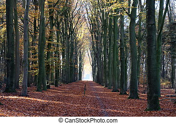 Beech forest in the Netherlands