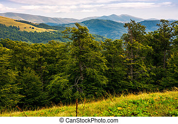 beech forest of the Svydovets mountain ridge. beautiful...