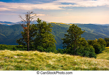 beech forest on a meadow of Svydovets ridge. beautiful...