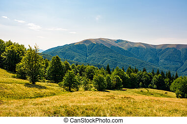 beech forest on grassy meadows in mountains. beautiful...