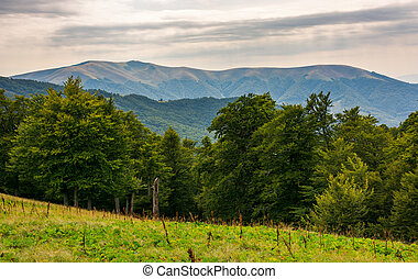 beech forest on the alpine meadow. forested hills and...
