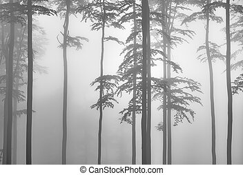 Beech forest - Spring beech forest with mist in the ...