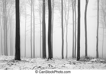 beech forest - Winter beech forest with fog in the...