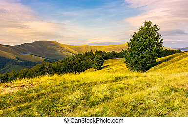 beech forests of Carpathian mountains in evening. hills of...