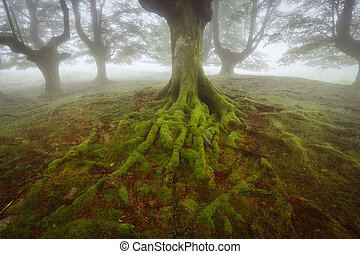 Beech green roots in Gorbea natural Park