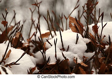 Beech hedge with newly fallen snow