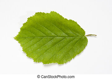 Beech Leaf - Green Beech leaf on white background