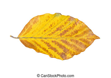 Beech leaf on a white background