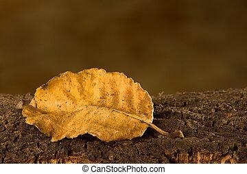 Single autumn beech leaf lying on tree bark