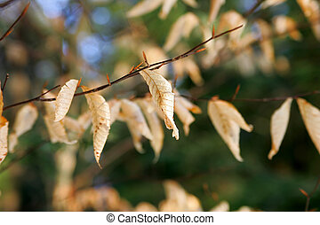 beech leaves on a branch