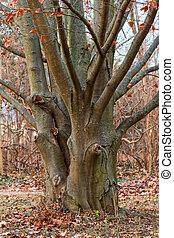 """Beech tree - An very old beech tree """"Fagus Sylvatica"""""""