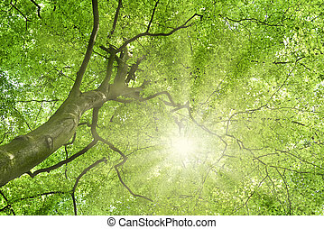 beech tree - Beech tree and sun. View up to the tree top of...