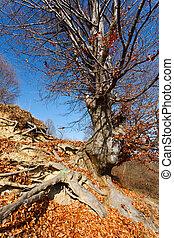Beech tree - Big single beech tree on a hill