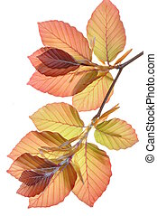 Beech tree branch fresh leaves