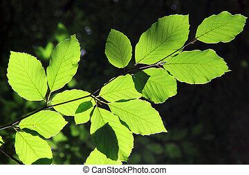 Beech tree, Fagus sylvatica