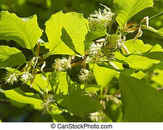 beech tree flowers - flowering beech tree in spring with...