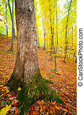 Beech tree in a forest in the autumn