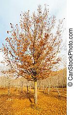 Beech tree in an autumnal landscape