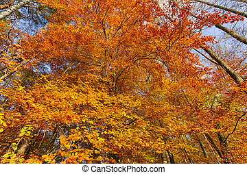 beech tree in autumn with blue sky