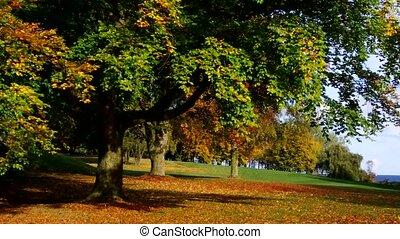 beech tree in fall