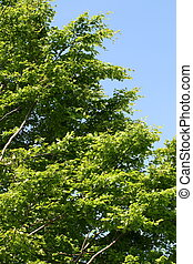 beech tree in summer