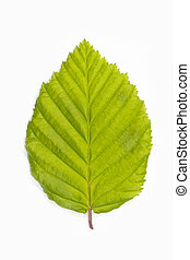 Beech tree leaf (Fagus) on white - Single beech tree leaf...