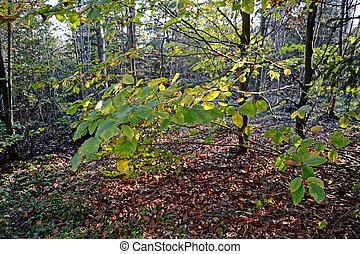 Beech Tree - Leaves of a beech tree