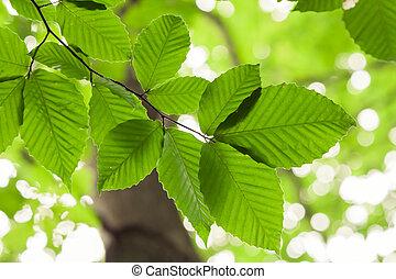 Beech Tree - Looking upward towards leaves on beech tree.