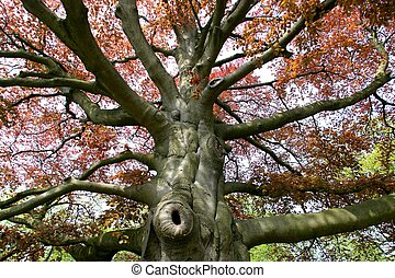 top of very old beech tree
